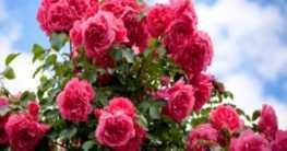 Rosenpflege: Was alle Rosen lieben