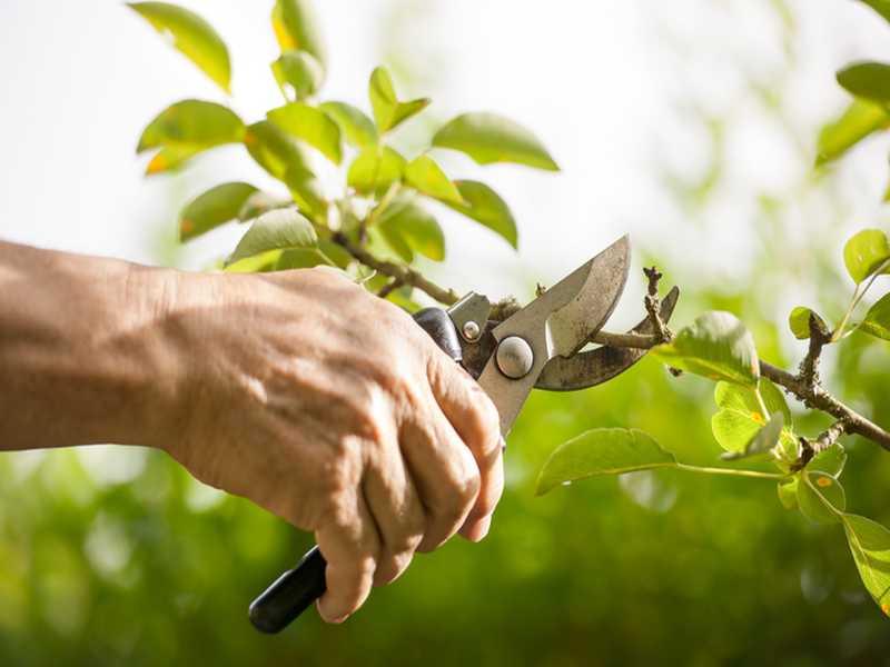 Der Schnitt von Gartenpflanzen