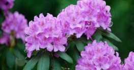 Rhododendron – Düngen, pflegen, schneiden und mehr