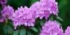 Rhododendron - Düngen, pflegen, schneiden und mehr